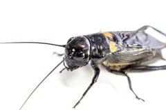 Pospolity czarny krykiet, odosobniony insekt na białym tle obraz royalty free