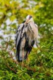 Pospolity dźwigowy ptasi trwanie czekanie na drzewie dla ryba Obraz Stock