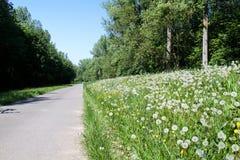 Pospolity dandelion dandelion zdjęcie stock