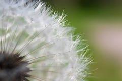 Pospolity dandelion w wiatrze zdjęcia royalty free