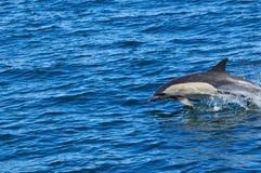 POSPOLITY delfin Obraz Stock