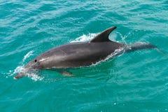 Pospolity delfin, częsciowo zanurzający w wodzie fotografia stock