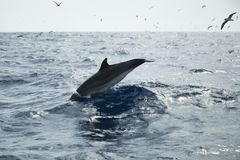 Pospolity delfin pływa w Atlantyckim oceanie Obrazy Royalty Free