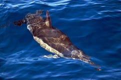 Pospolity delfin pod powierzchnią Zdjęcie Royalty Free