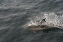 pospolity delphinus delphis delfin Zdjęcia Royalty Free