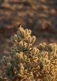 Pospolity domowego finch obsiadanie na górze cholla kaktusa obrazy royalty free