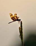 Pospolity dragonfly Obrazy Royalty Free