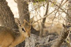Pospolity duiker, Namibia Zdjęcie Stock