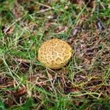 Pospolity earthball Fotografia Royalty Free
