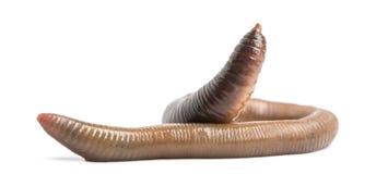 Pospolity earthworm, Lumbricus terrestris, odizolowywający zdjęcie royalty free