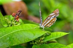 Pospolity żeglarza motyl (Neptis hylas papaja) Zdjęcia Stock