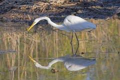Pospolity Egret na polowaniu z swój odbiciem Zdjęcie Stock