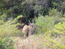 pospolity eland obrazy royalty free