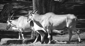 Pospolity eland Zdjęcie Stock