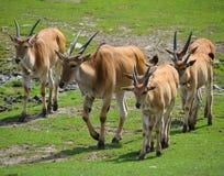 Pospolity eland Zdjęcie Royalty Free