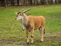 pospolity eland oryx taurotragus Obraz Stock
