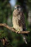 pospolity falco kestrel tinnunculus Obraz Stock