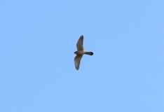 pospolity falco kestrel tinnunculus Obrazy Royalty Free