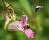 Pospolity gręplarza bumblebee na Himalajskim Balsam (Bombus pascuorum) Obrazy Royalty Free