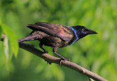 pospolity grackle Obraz Royalty Free