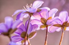 Pospolity Hepatica bukowa lasowa hepatica nobilis Poland wiosna brać najpierw wiosna kwiat Błękit kwitnie kwitnienie w Kwietniu zdjęcia stock