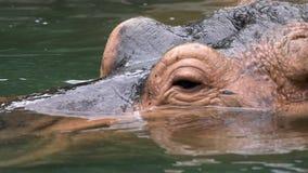 Pospolity hipopotamowy bierze skąpanie w jezioro wodzie przy natury przyrodą wilder hipopotam zbiory wideo