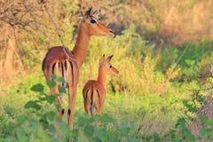 Pospolity Impala dzieci zwierzęta i ich mamy - Afrykański przyrody tło - Obraz Stock