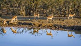 Pospolity Impala w Kruger parku narodowym, Południowa Afryka Zdjęcia Stock