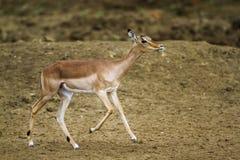 Pospolity Impala w Kruger parku narodowym, Południowa Afryka Zdjęcie Stock