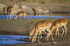 Pospolity Impala w Kruger parku narodowym, Południowa Afryka Obraz Royalty Free
