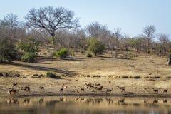 Pospolity Impala w Kruger parku narodowym, Południowa Afryka Obrazy Royalty Free