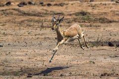 Pospolity Impala w Kruger parku narodowym, Południowa Afryka Zdjęcia Royalty Free