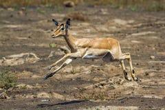 Pospolity Impala w Kruger parku narodowym, Południowa Afryka Fotografia Royalty Free