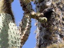 Pospolity kaktusowy finch, Geospiza scandens, je kaktusowego kwiatu na Santa Cruz wyspie w Galapagos parku narodowym, Equador zdjęcie royalty free