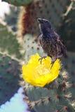 Pospolity kaktusowy finch obsiadanie na kaktusowym kwiacie, Santa Cruz Islan zdjęcia stock