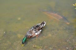Pospolity karp i dzika kaczka w stawie Fotografia Royalty Free