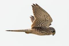 Pospolity kestrel Falco w locie Zdjęcia Stock