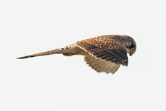 Pospolity kestrel Falco w locie Fotografia Royalty Free