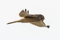 Pospolity kestrel Falco w locie Obrazy Stock