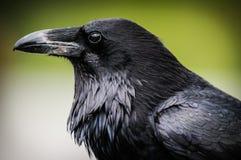 Pospolity kruk (Corvus corax) fotografia stock