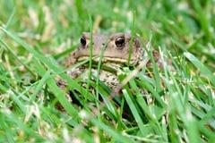 Pospolity kumak, bufo bufo w trawie, Obrazy Royalty Free