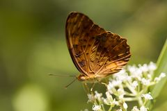 Pospolity lamparta motyl - Phalanta phalantha fotografia stock