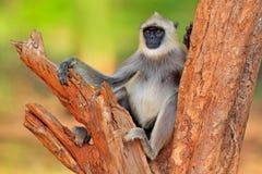 Pospolity Langur, Semnopithecus entellus, małpi obsiadanie na drzewie, natury siedlisko, Sri Lanka Żywieniowa scena z langur Przy Fotografia Stock