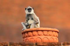 Pospolity Langur, Semnopithecus entellus, małpi obsiadanie w trawie, natury siedlisko, Sri Lanka Żywieniowa scena z langur Przyro Fotografia Royalty Free