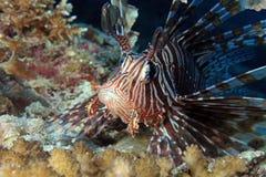 Pospolity Lionfish Obraz Stock