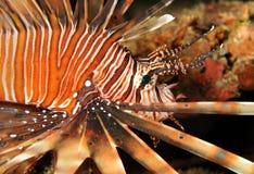 Pospolity Lionfish Obrazy Royalty Free
