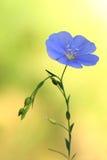 Pospolity lna flowerLinum usitatissimum Zdjęcie Royalty Free