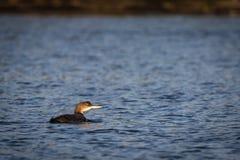 Pospolity Loon Gavia immer dopłynięcie w oceanie w zimie zdjęcie stock