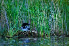 Pospolity Loon gniazduje wzdłuż krawędzi jezioro zdjęcie stock