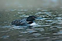 Pospolity loon lub wielki północny nurek - gavia immer fotografia stock